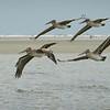 Brown pelicans in flights.
