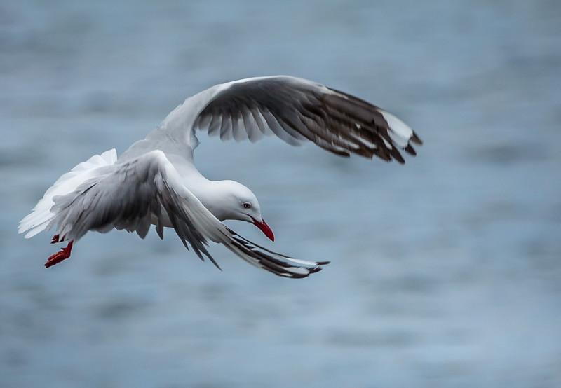 Silver Gull, Vivonne Bay, Kangaroo Island, Australia