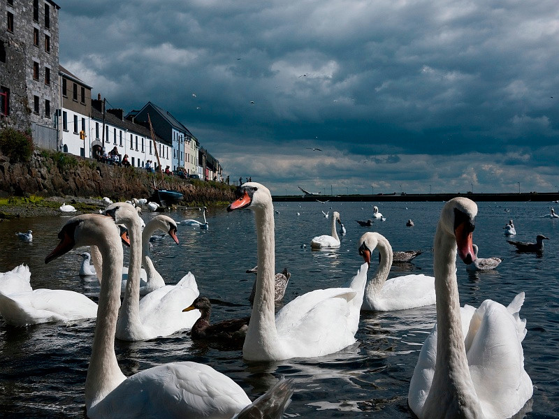 25 Aug: Swans in Galway, Ireland