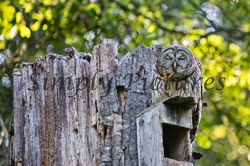 Owl  (15)