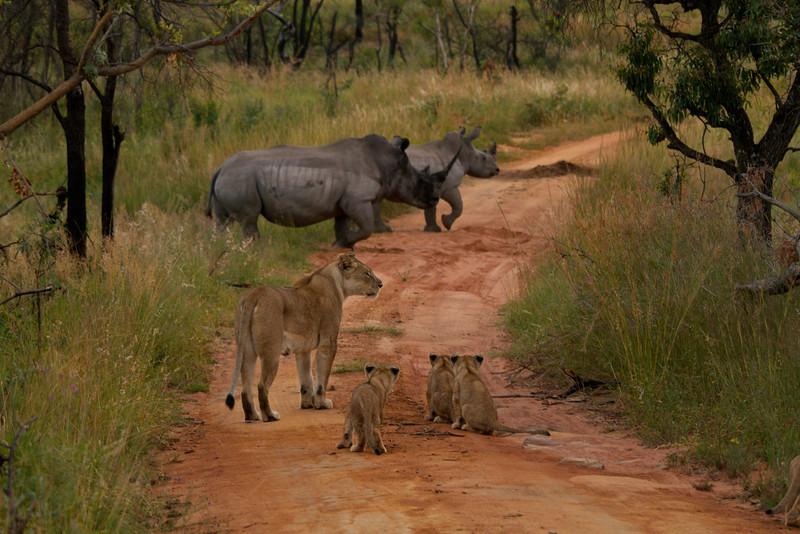 Lions vs. Rhinos.jpg