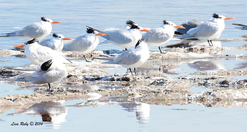 Royal Terns - 1/18/2014 - Salt Works