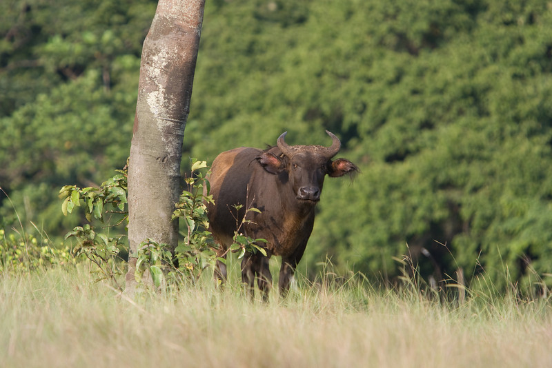 Buffalo in Loango National Park.