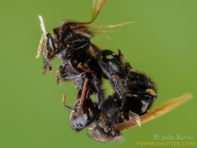 Stingless bee trying to untangle another bee stuck on spider web