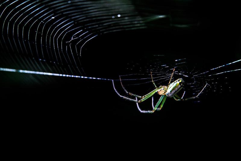 Orchard Spider.jpg