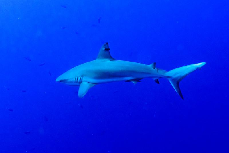 Grey Reef Shark (Carcharhinus amblyrhynchos) underwater, Tarpon Cayes, Belize Barrier Reef, Lighthouse Reef, Belize