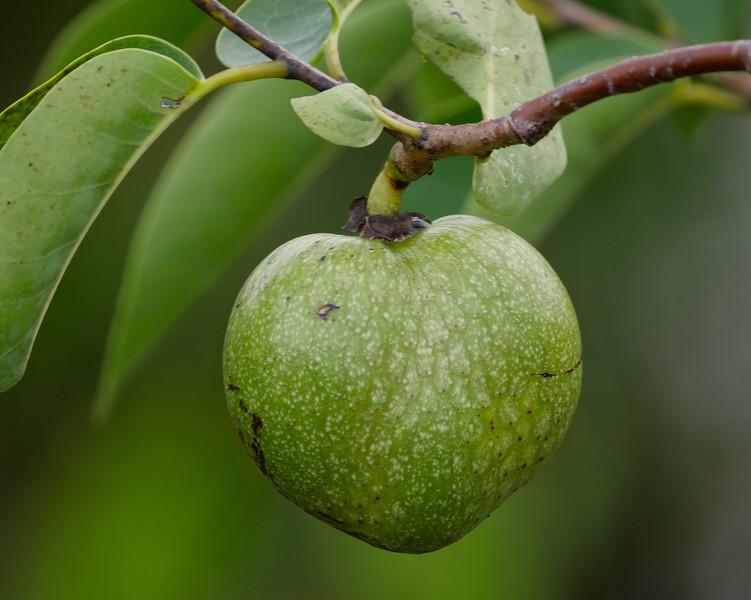 pond apple