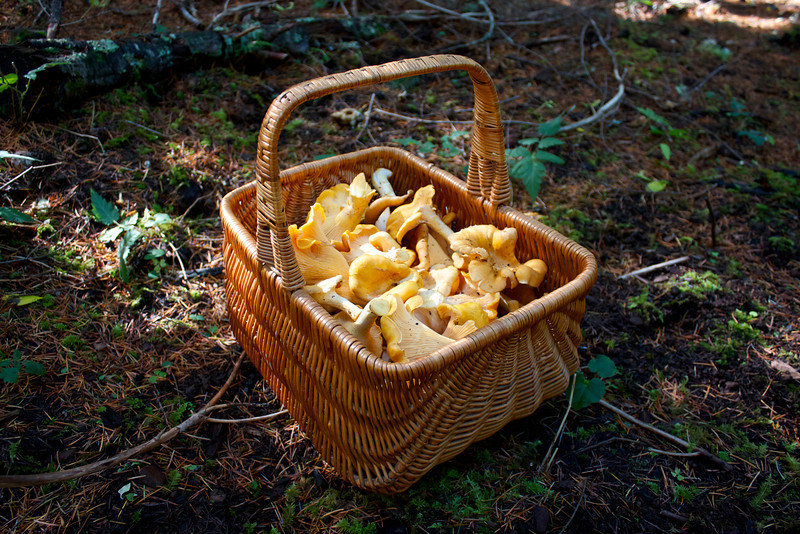 Basket of Cantharellus formosus, Golden Chanterelles