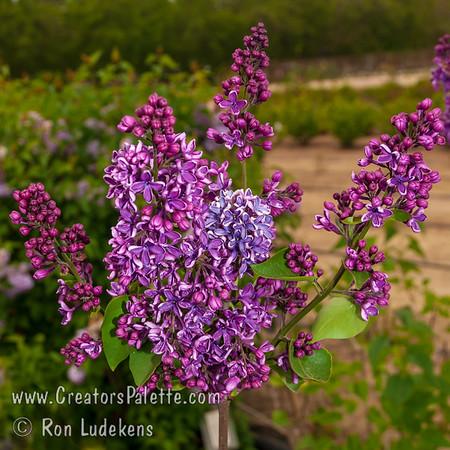 Albert F. Holden Lilac - Syringa vulgaris 'Albert F. Holden'