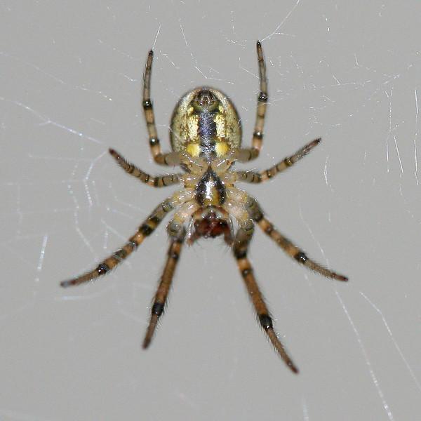 9827 Small Spider.jpg