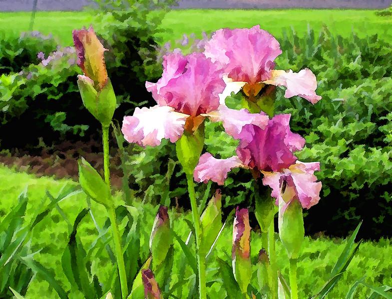 Garden Iris 01
