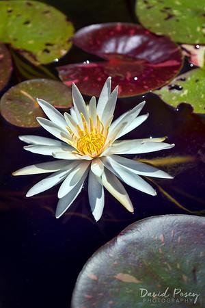 Kenilworth Aquatic Gardens / Washington, DC
