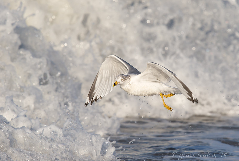 Rign-billed Gull in Breaking wave_O8U6630.jpg