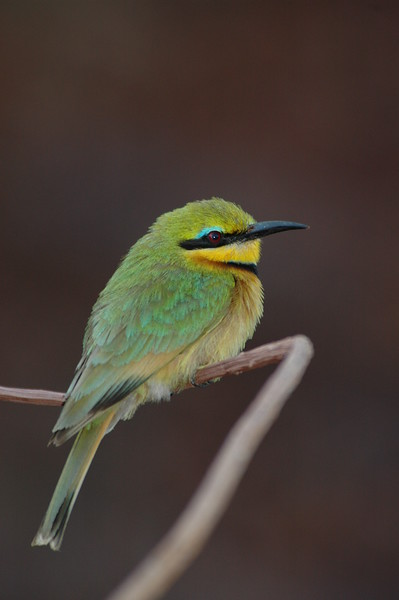 Bee Eater South Africa 2004
