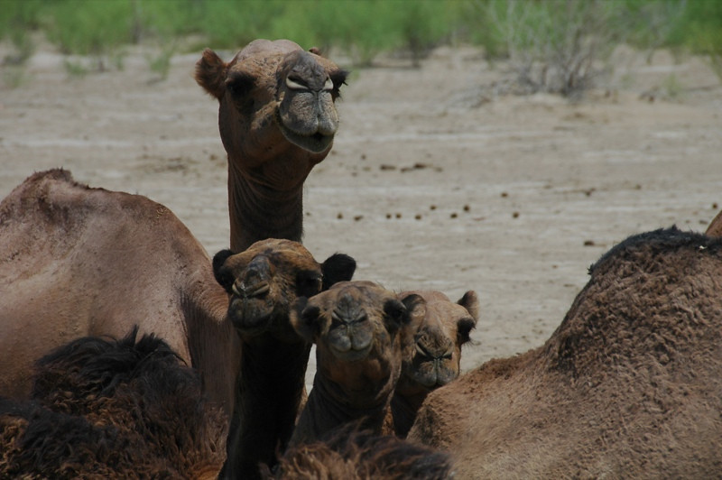 Mother Camel and Babies - Gonur Depe, Turkmenistan