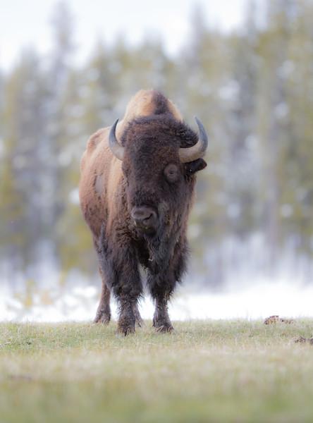 Bison eye level Yellowstone National Park WY IMG_0515.jpg