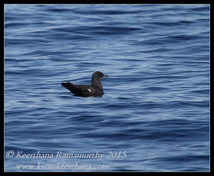 Dark morph Pomarine Jaeger, Whale watching trip, San Diego County, California, January 2015