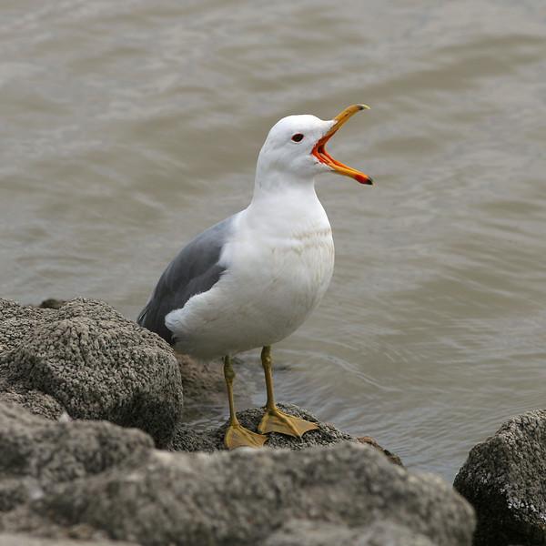 Gull at Lake Elizabeth, Central Park, Fremont, CA