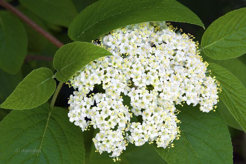 FloweringShrubs_Viburnum _0360.jpg