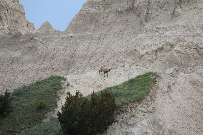 20140523-139-BadlandsNP-MountainGoats.JPG