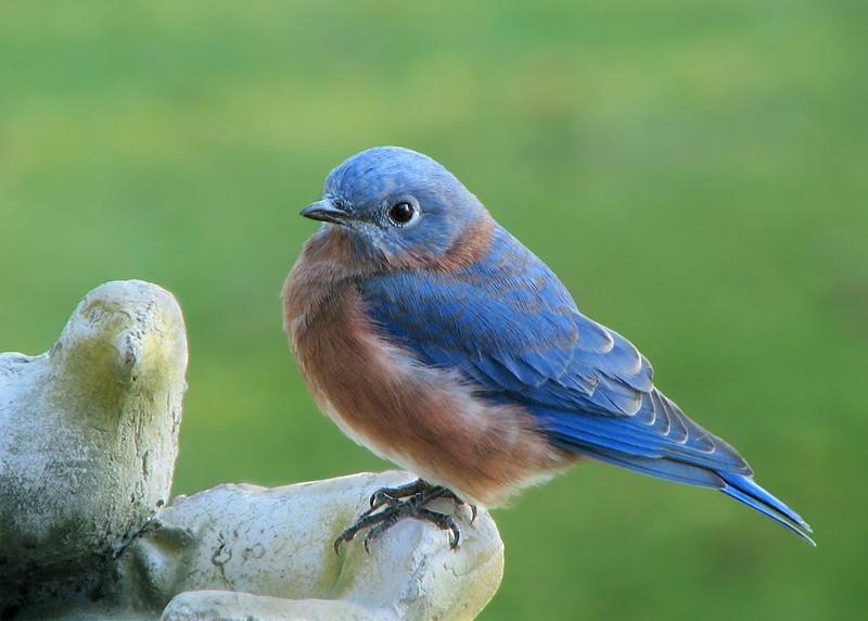 bluebird_2089.jpg