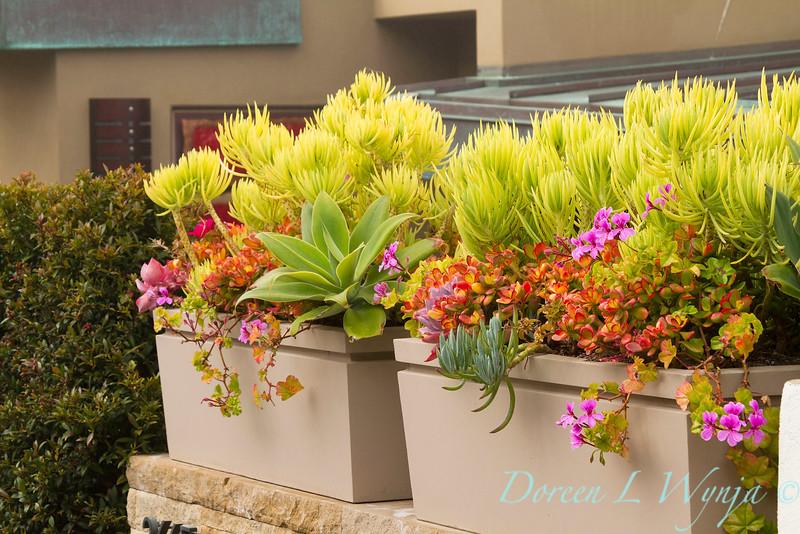 Crassula ovata 'Hummel's Sunset' and Senecio 'Himalaya' succulent container; modern container garden of chartreuse senecio