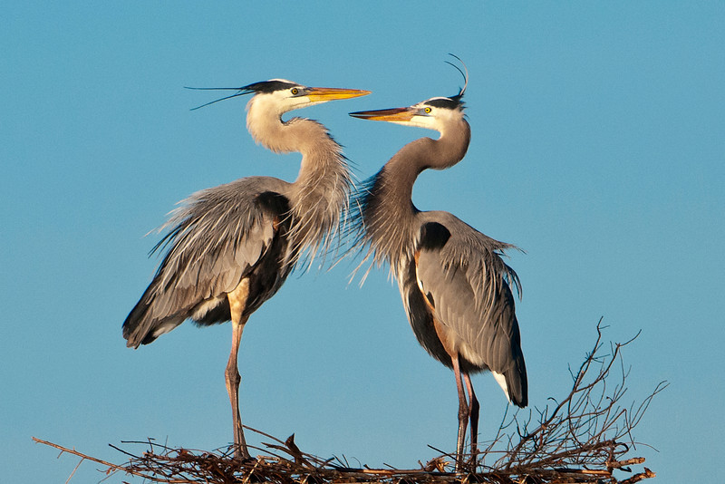 Heron - Great Blue - Pair at nest - Viera Wetlands, FL - 02