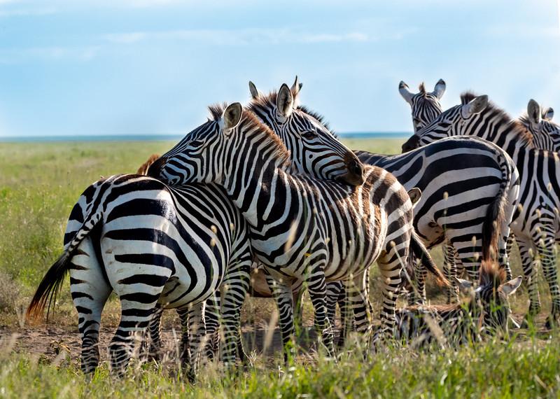 zebras-106_0219_4619.jpg