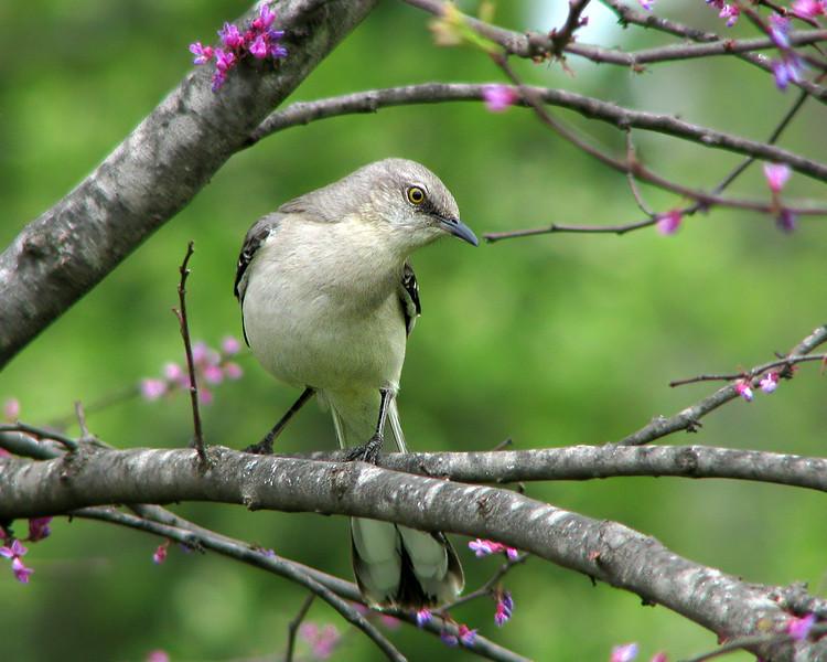 mockingbird_8518.jpg