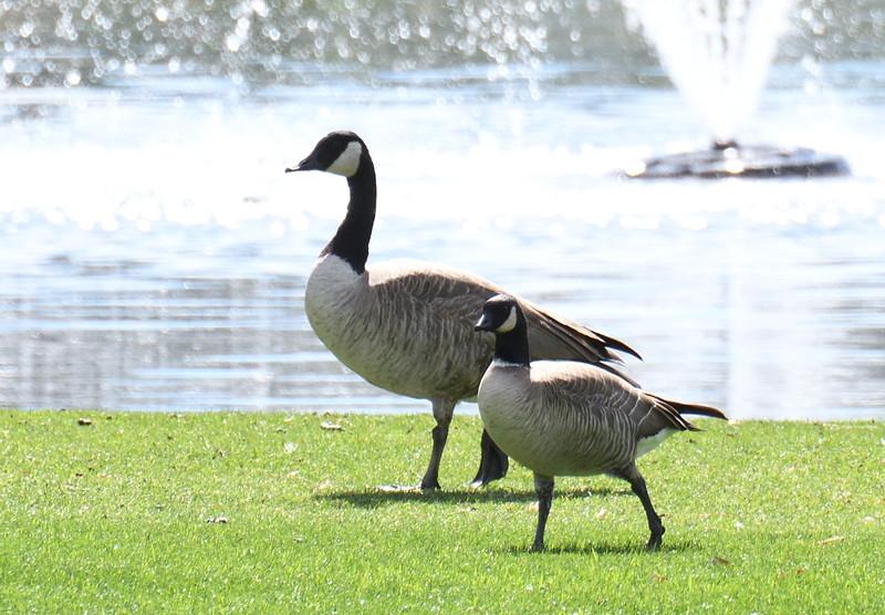 Canada Goose and Cackling Goose - 2/17/2018 - Borrego Springs Roadrunner Club