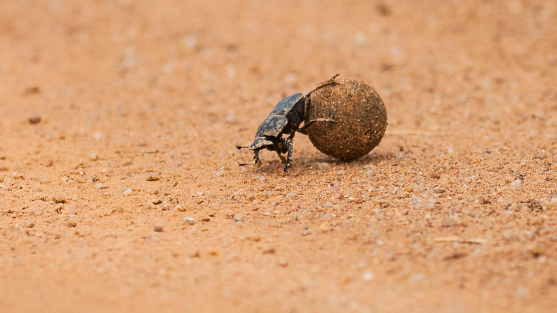 Dung beetle i Mabula Game Reserve, Limpopo