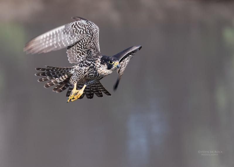 Peregrine Falcon, Savuti, Chobe NP, Botwana, May 2017-1.jpg