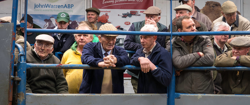 Cattle auction, Leyburn.