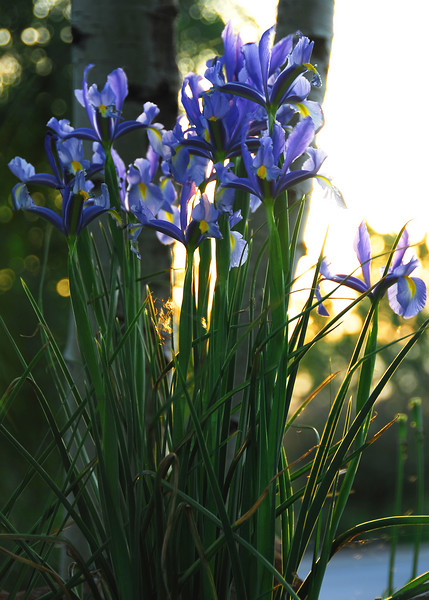 5/17/07 – These irises were growing in our front yard. They were just at their peek Thursday.  Today, Sunday they are gone. I shot these as the sun set.