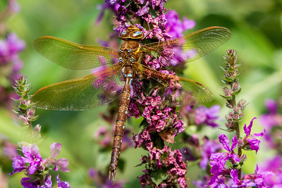 Brown Hawker ~ Brun Mosaikguldsmed