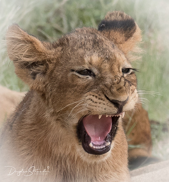 Lion Cub Wakes Up