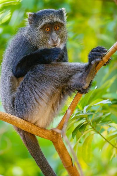 Blue Monkey