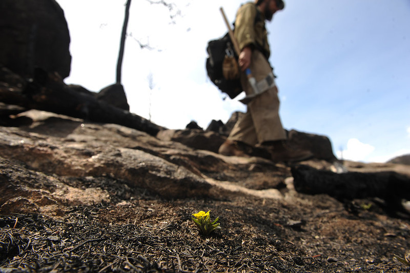 . Small yellow flowers are just beginning to bloom in the burned area of the Fern Lake Fire high up above Cub Lake in Rocky Mountain National Park on May 13, 2013.   (Photo by Helen H. Richardson/The Denver Post)