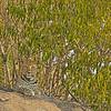 African Leopard (Panthera pardus pardus) resting on a rock in Masai Mara