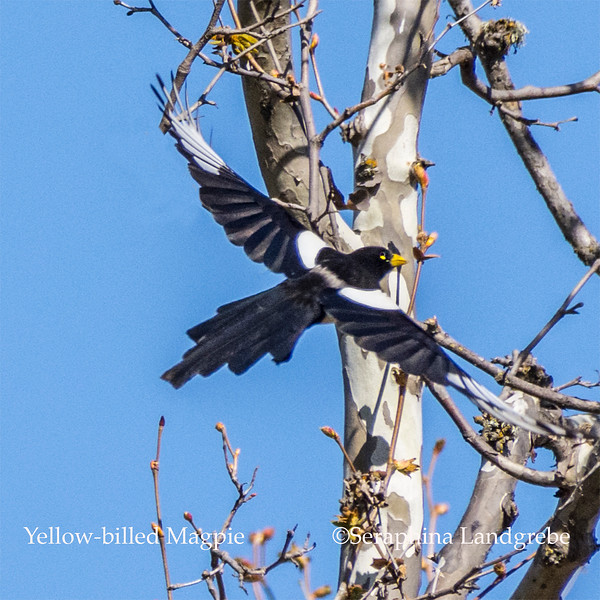 _DSC7675Yellow-billed Magpie.jpg