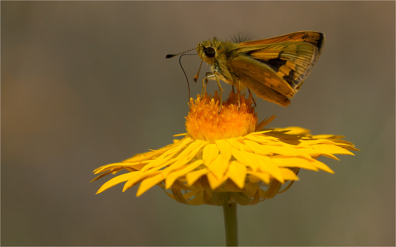 Skipper on Golden paper daisy