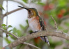 Rufous Hummingbird IMG_4117
