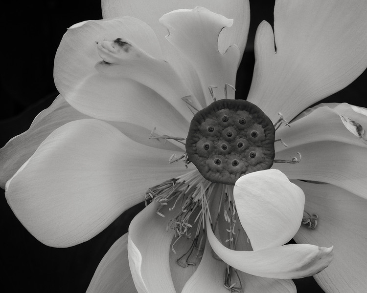 lotus, new york botanical garden