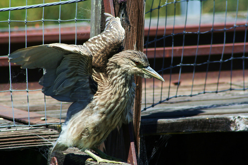 Juvenile Black-crowned Night Heron (2).JPG