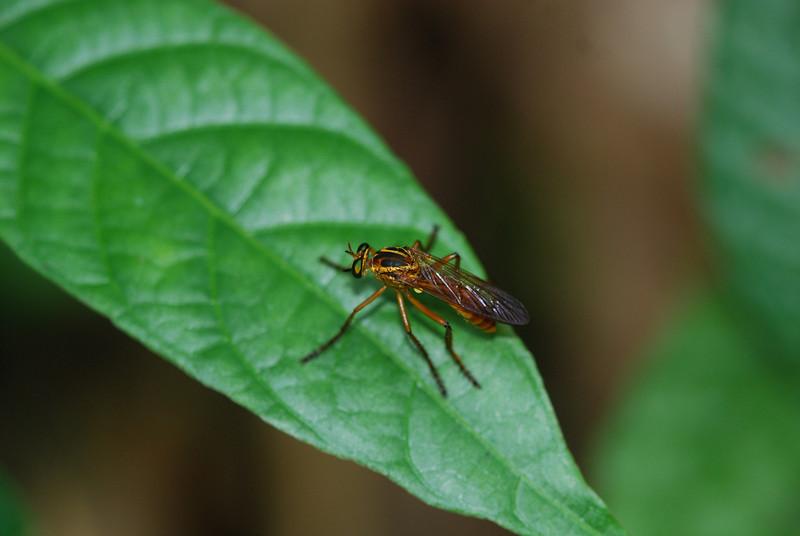 Wasp - Guyana