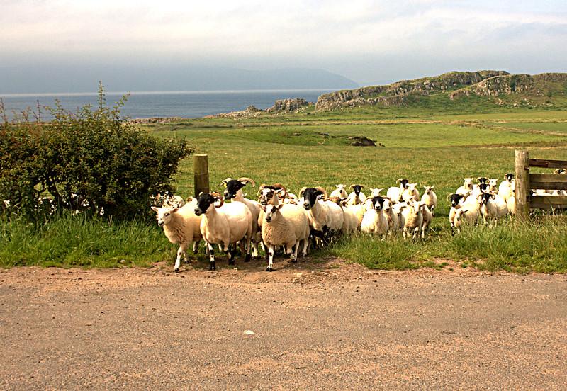 sheep transfer.jpg