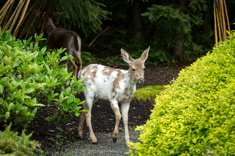 Piebald deer, in our front yard