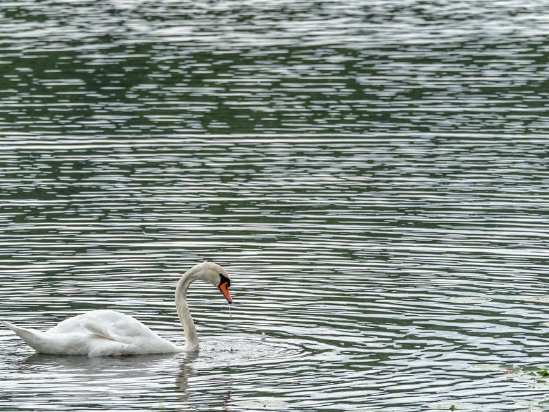 17 Aug 19 Swan iii -1.jpg
