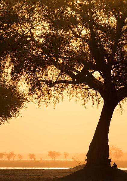 Acacia tree and baboon at sunset, Mana Pools National Park