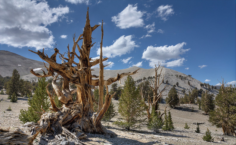 Bristlecone Ghost - Patriarch Grove - White Mountains, California
